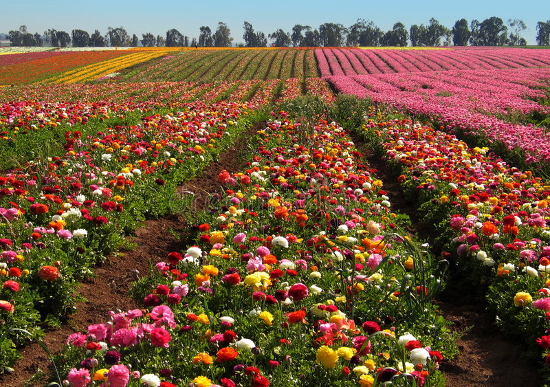 Campos de flor fotos de archivo libres de regalías