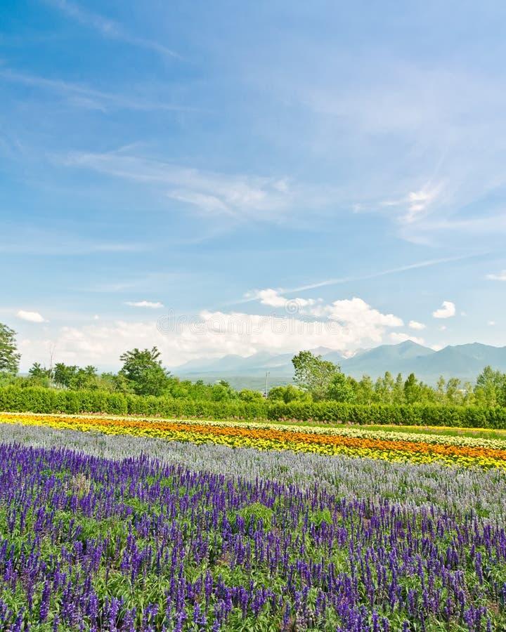 Campos de flor de Biei e de Furano, Hokkaido, Japão imagem de stock
