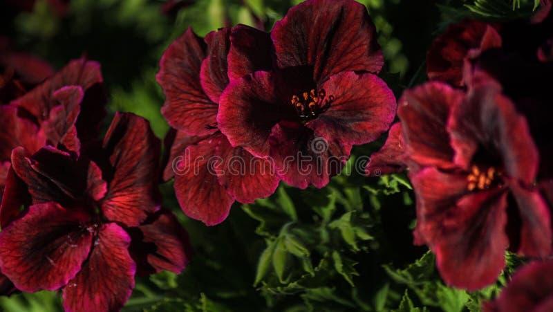 Campos de flor em Carlsbad imagem de stock