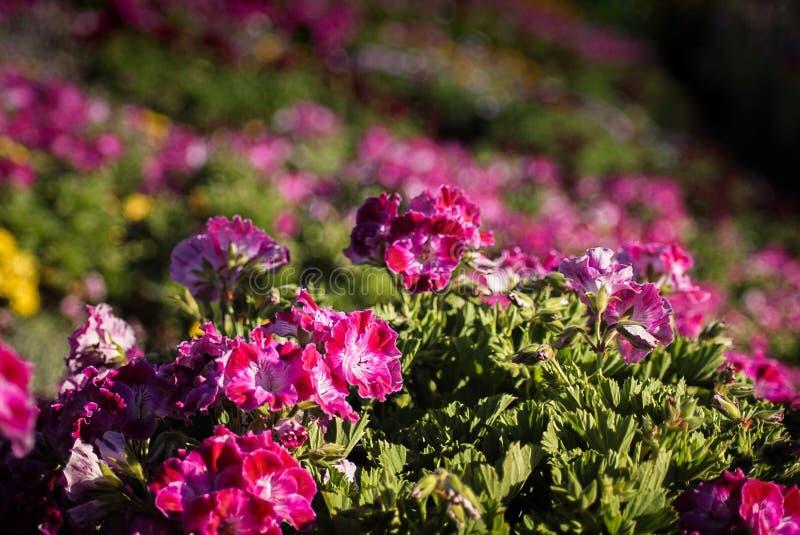 Campos de flor em Carlsbad imagens de stock royalty free