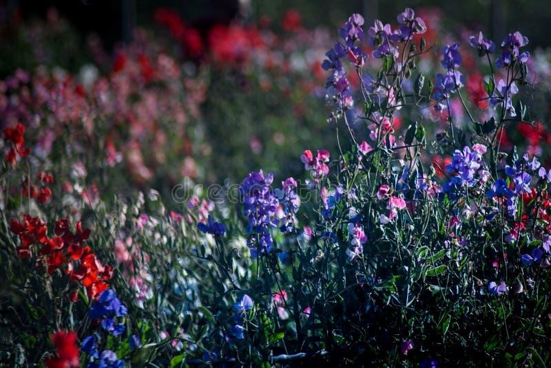 Campos de flor em Carlsbad fotografia de stock
