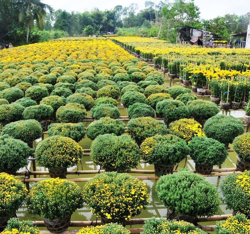 Campos de flor en Vinhlong, Vietnam foto de archivo