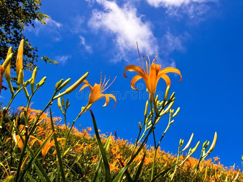 Campos de flor hermosos del lirio en Hualien, Taiwán imagenes de archivo