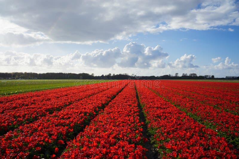 Campos de flor rojos holandeses 2 imagen de archivo libre de regalías