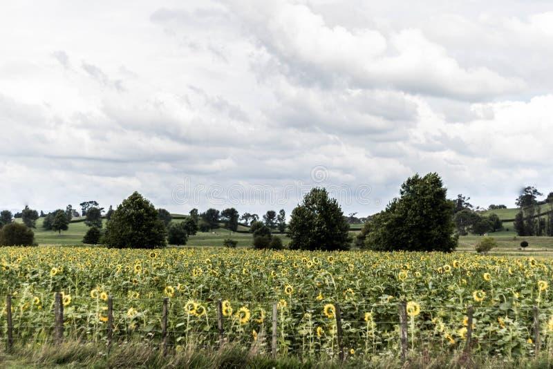Campos de flor de Sun en el lado del camino imágenes de archivo libres de regalías