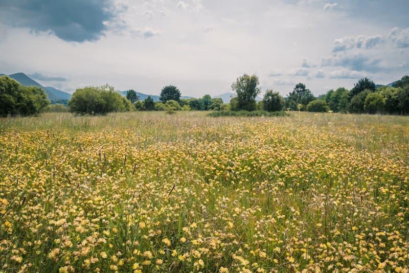 Campos de flores amarelas nas areias da reserva da biosfera de Urdaibai no pa?s Basque fotografia de stock