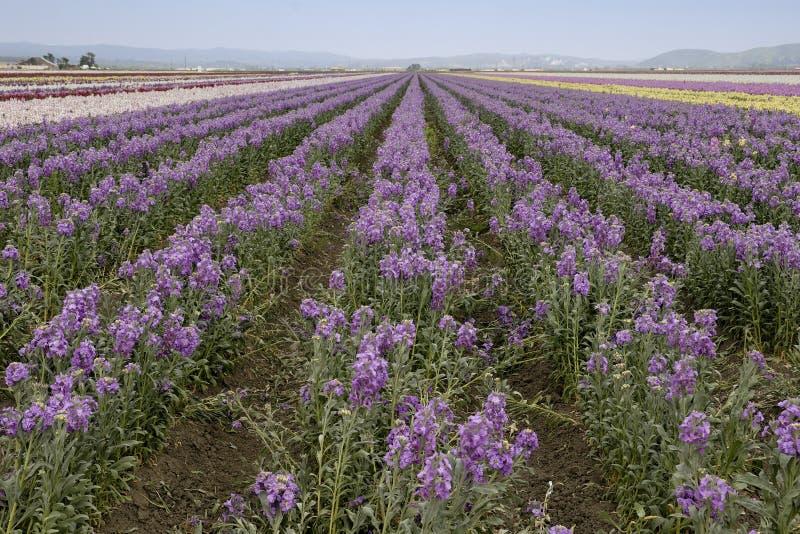 Campos de flores roxas imagens de stock royalty free