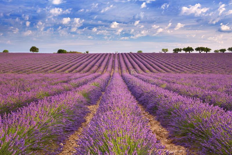 Campos de florescência da alfazema no Provence, França do sul fotos de stock royalty free