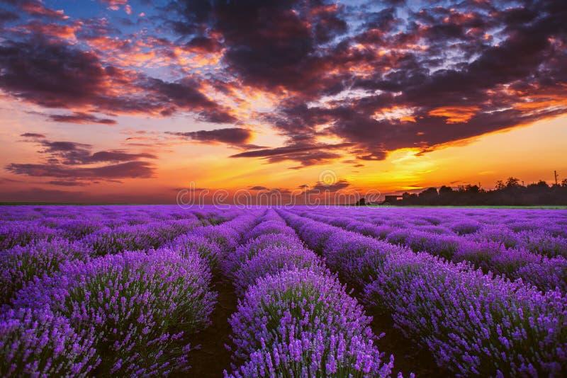 Campos de florescência da flor da alfazema em fileiras infinitas Tiro do por do sol fotos de stock royalty free
