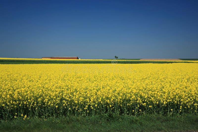 Campos de florescência infinitos de um Canola fotos de stock