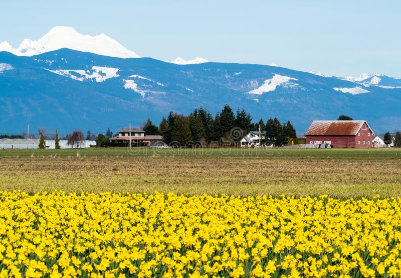 Campos de florescência no estado de Washington, EUA do narciso amarelo foto de stock royalty free