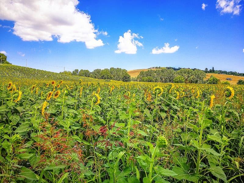 Campos de girasoles en las colinas de la región de Marche en el mar adriático, Italia imagen de archivo libre de regalías