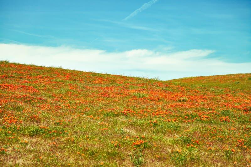 Campos de la amapola de California durante tiempo floreciente del pico, valle California Poppy Reserve del antílope fotografía de archivo