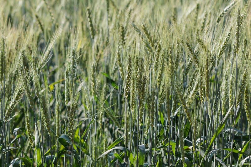 Campos de la cebada por la mañana fotografía de archivo