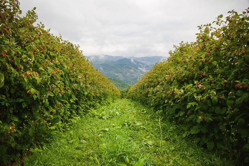 Campos de la frambuesa en Serbia imagenes de archivo