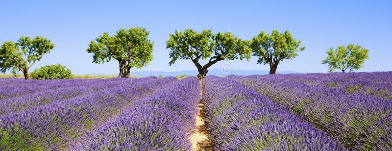 Campos de la lavanda de la Provence francesa fotografía de archivo