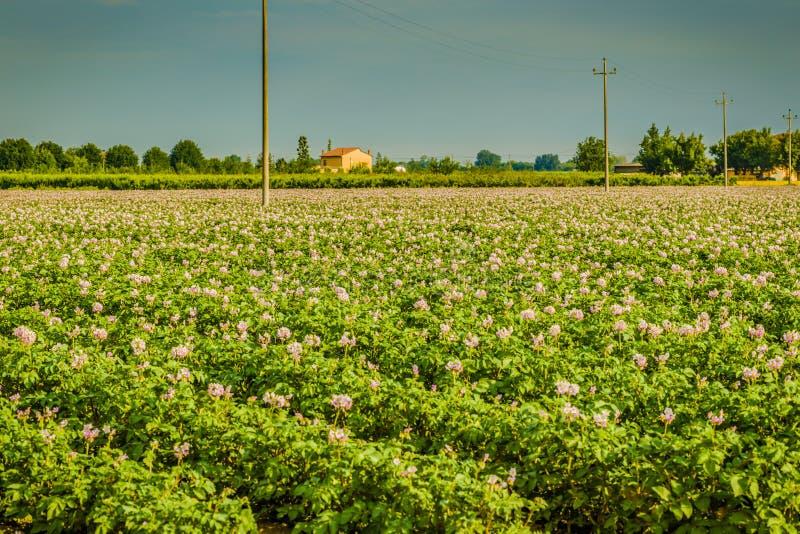 Campos de la patata imagenes de archivo