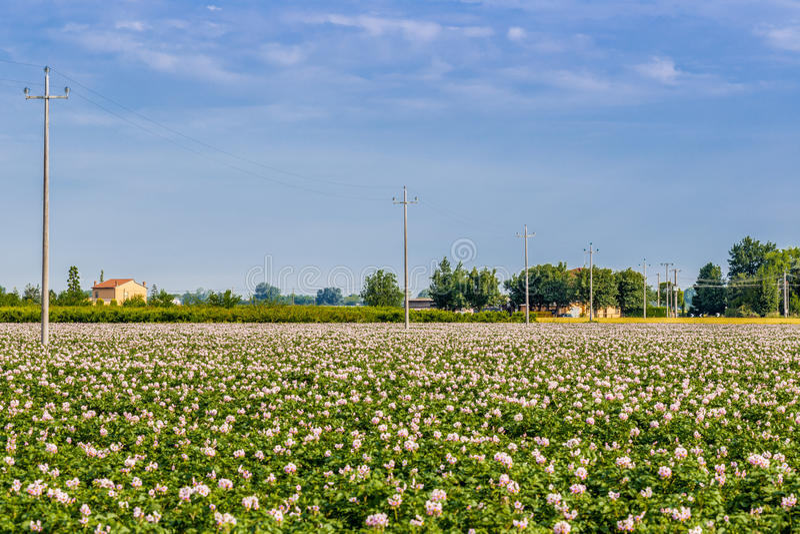 Campos de la patata foto de archivo