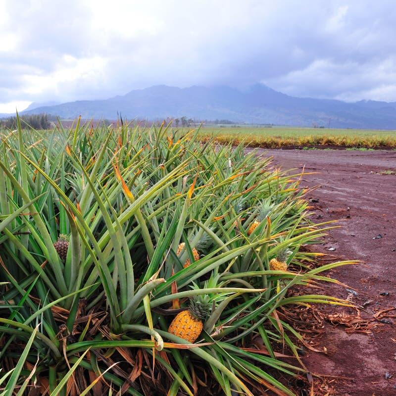 Campos de la piña en Oahu central Hawaii fotografía de archivo libre de regalías