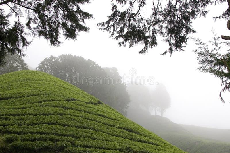 Campos de la plantación de té de las montañas de Cameron imagen de archivo