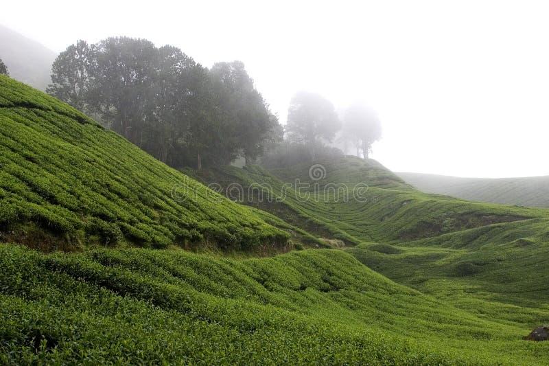 Campos de la plantación de té de las montañas de Cameron fotografía de archivo