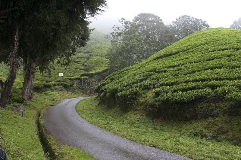 Campos de la plantación de té de las montañas de Cameron fotos de archivo