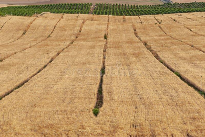 Campos de la plantación del trigo en Raimat Viñedos de Raimat en el fondo Paisaje del campo foto de archivo libre de regalías