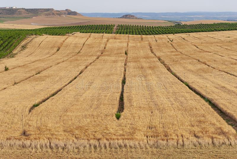 Campos de la plantación del trigo en Raimat Viñedos de Raimat en el fondo Paisaje del campo imagenes de archivo
