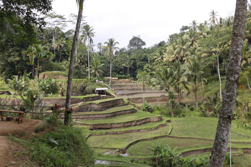 Campos de la terraza del arroz imagen de archivo libre de regalías