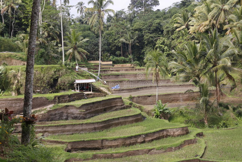 Campos de la terraza del arroz fotos de archivo libres de regalías