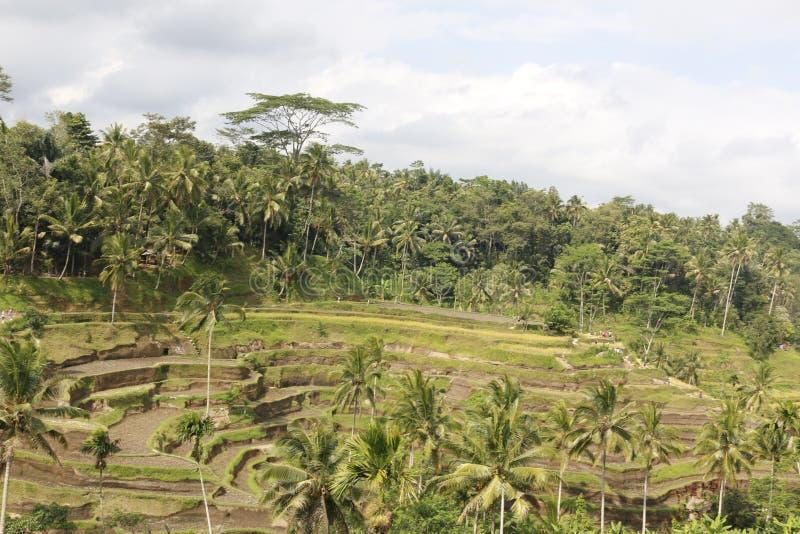 Campos de la terraza del arroz imagenes de archivo