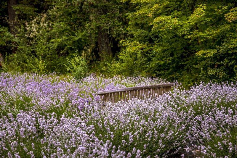 Campos de lavanda florecientes en el Pacífico Noroeste de Estados Unidos foto de archivo