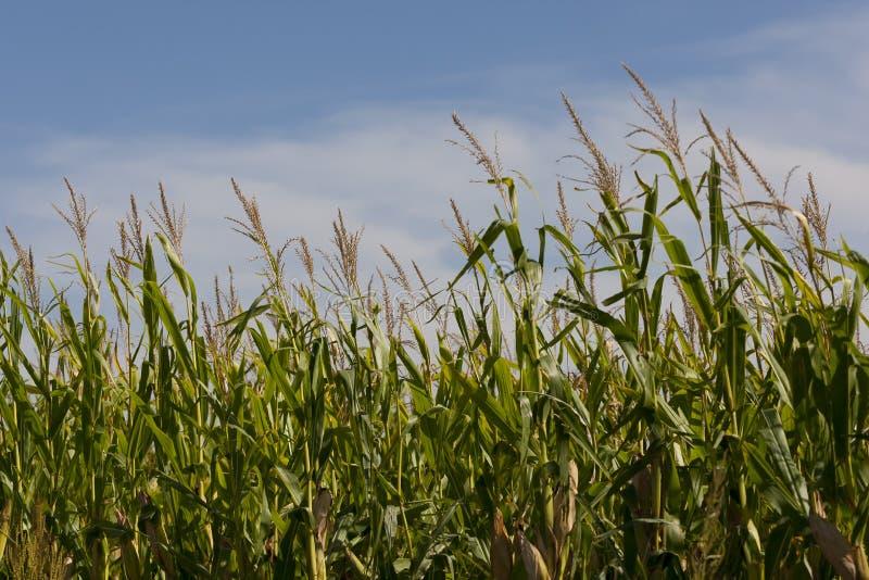Campos de maíz de Iowa fotos de archivo