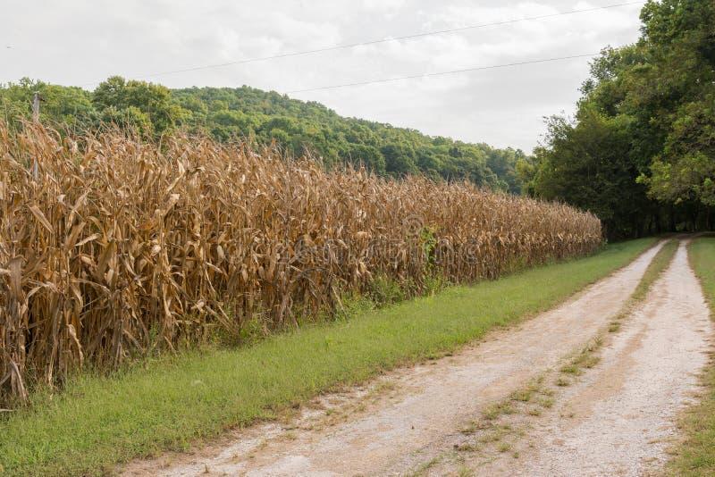 Campos de maíz listos para la cosecha fotos de archivo libres de regalías