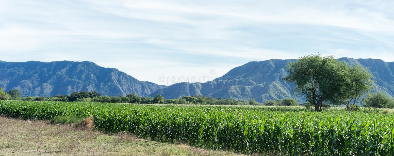 Campos de milho foto de stock