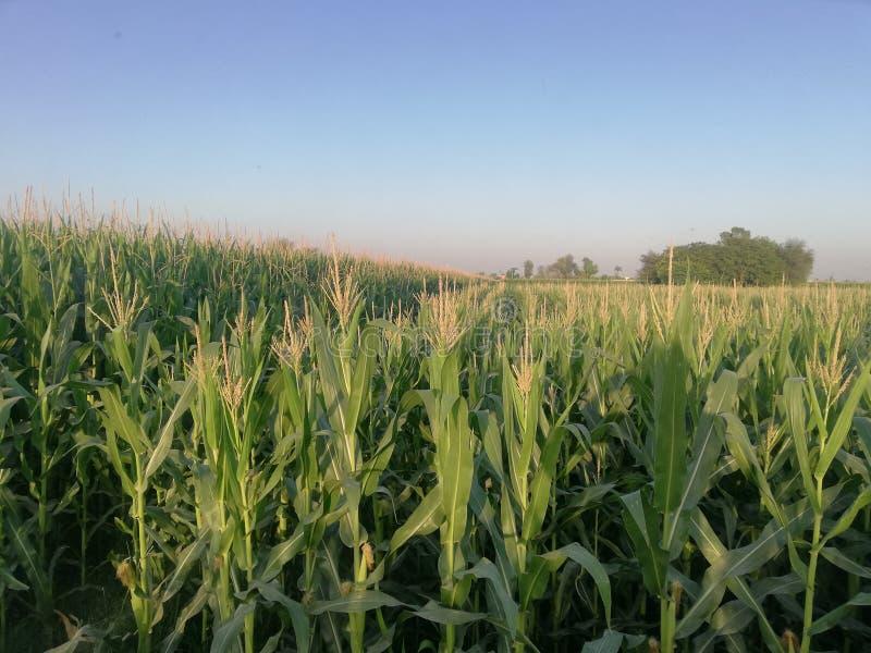 Campos de milho fotografia de stock