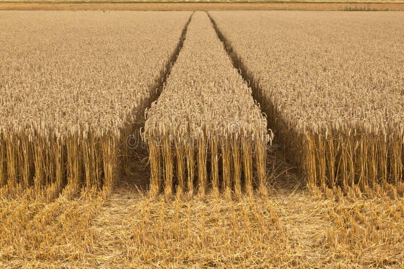 Campos de milho com o milho pronto para a colheita imagem de stock