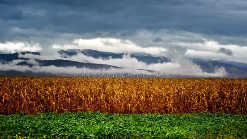 Campos de milho em um dia tormentoso do verão foto de stock royalty free