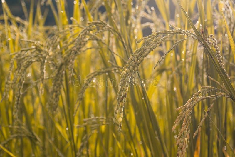 Campos de oro del arroz por mañana fotografía de archivo libre de regalías