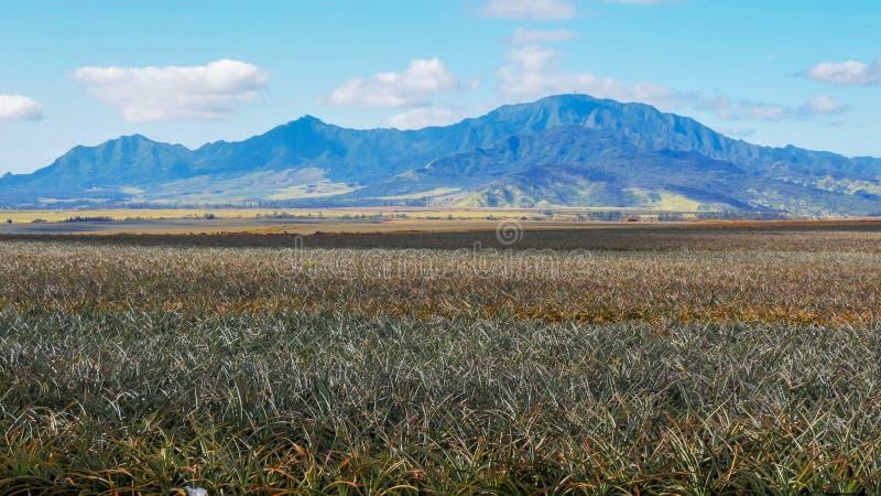 Campos de piñas en la plantación del paro en la isla de Oahu imagen de archivo