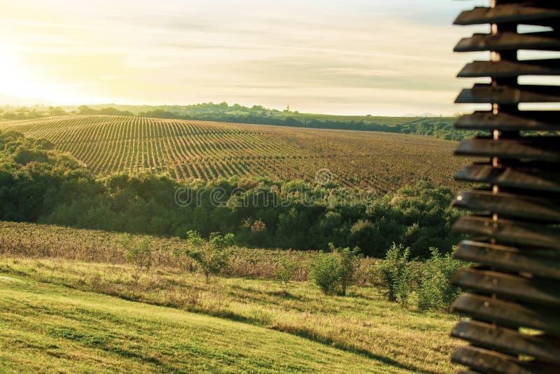 Campos de plantas da uva em um dia ensolarado imagens de stock royalty free