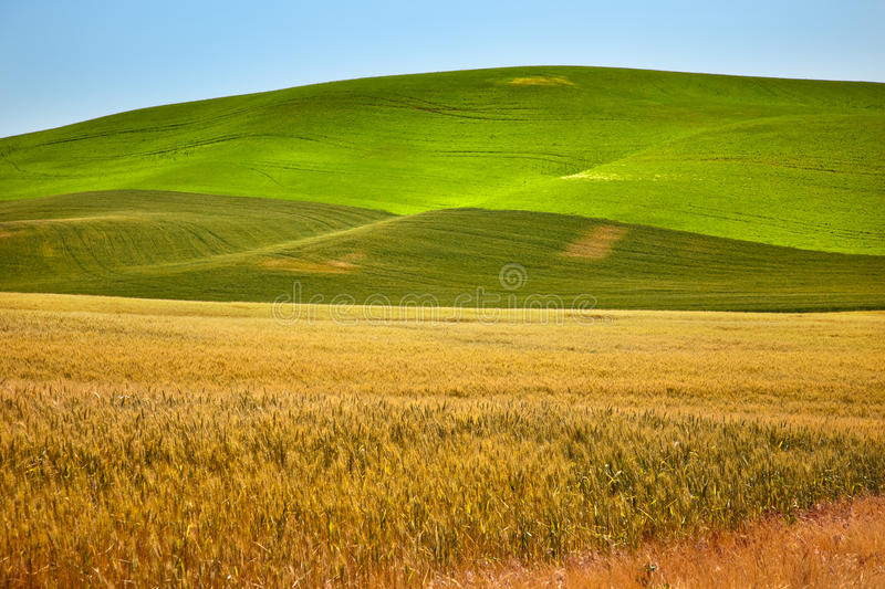 Campos de trigo del verde amarillo Palouse Washington fotos de archivo