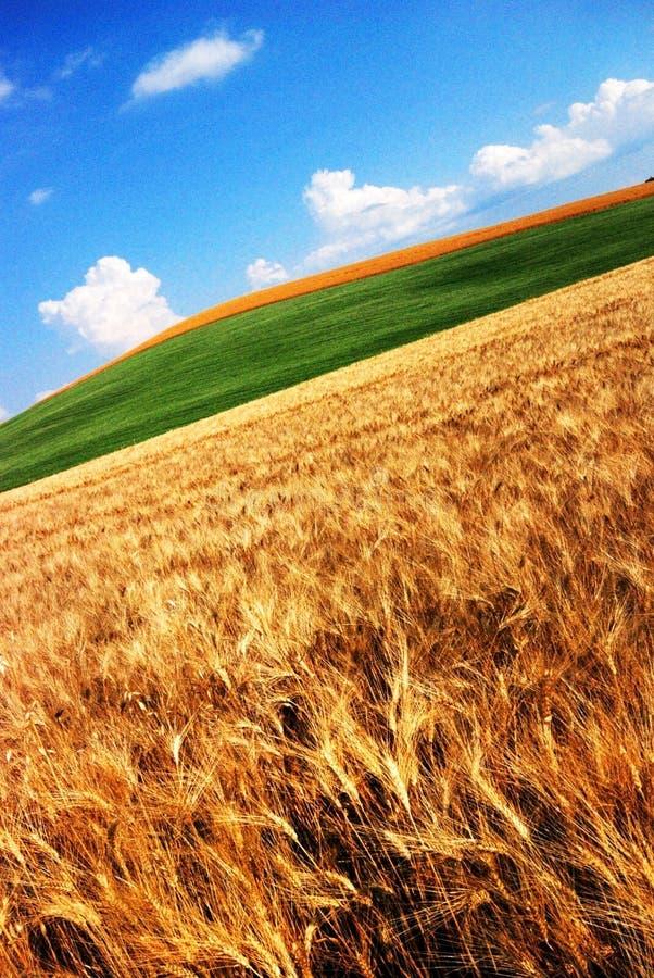 Campos de trigo dourados imagens de stock royalty free