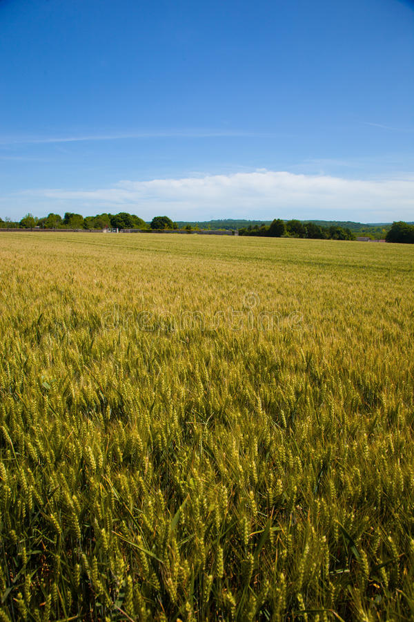 Campos de trigo en la región de Vexin en Francia, fotografía de archivo libre de regalías