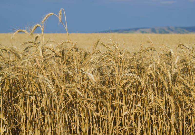 Campos de trigo, Palouse, Washington imagem de stock