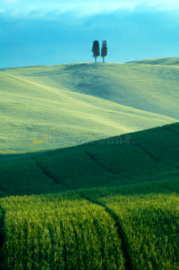 Campos de trigo verdes fotografia de stock