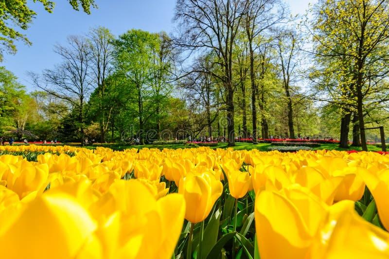 Campos de tulipán en los Países Bajos fotos de archivo libres de regalías