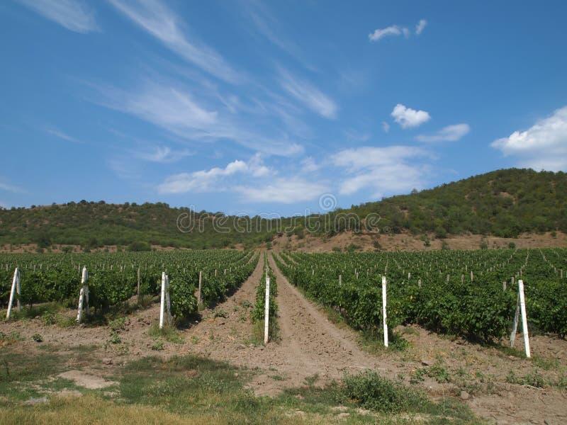 Campos de vinhas fotografia de stock royalty free
