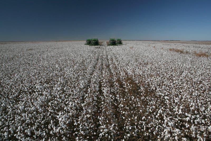 Campos del algodón imagenes de archivo