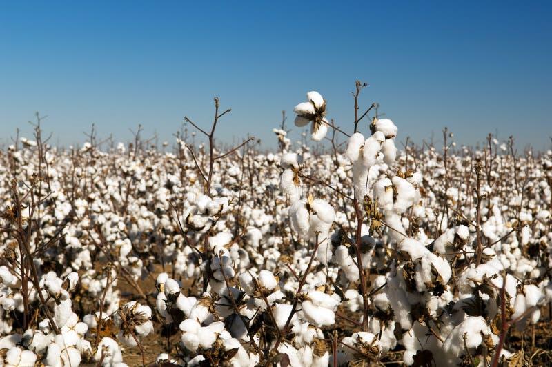 Campos del algodón foto de archivo libre de regalías